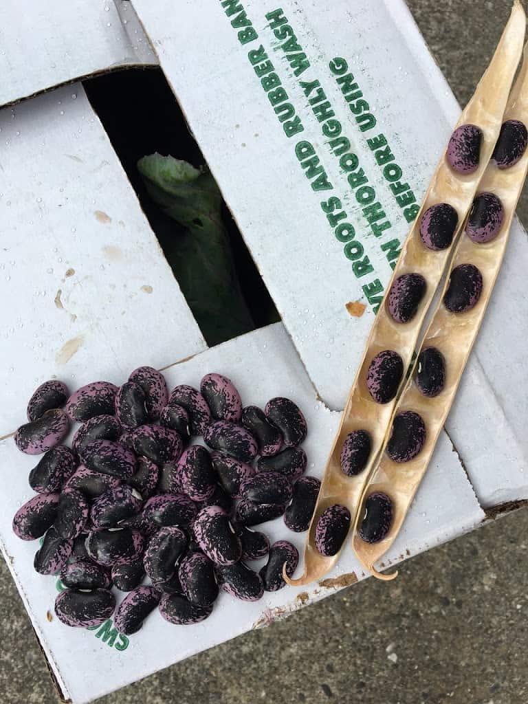 Shelled dried scarlet runner beans. https://trimazing.com